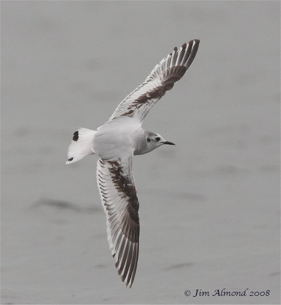 Little Gull flight Seahouses 13 5 08  IMG_3217
