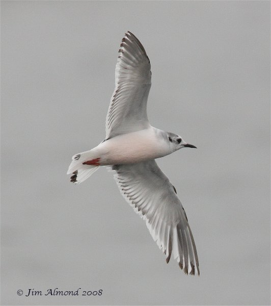 Little Gull flight Seahouses 13 5 08  IMG_3243