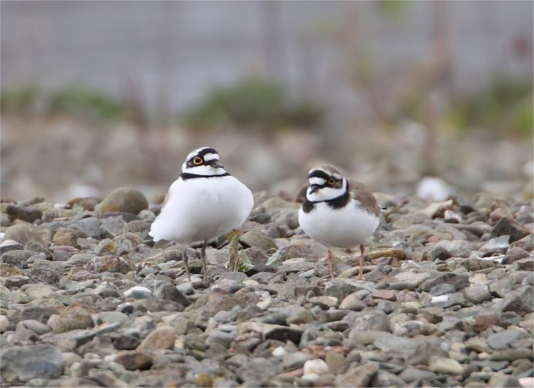 Little ringed Plover pair courting VP 30 3 09 IMG_9709_filtered