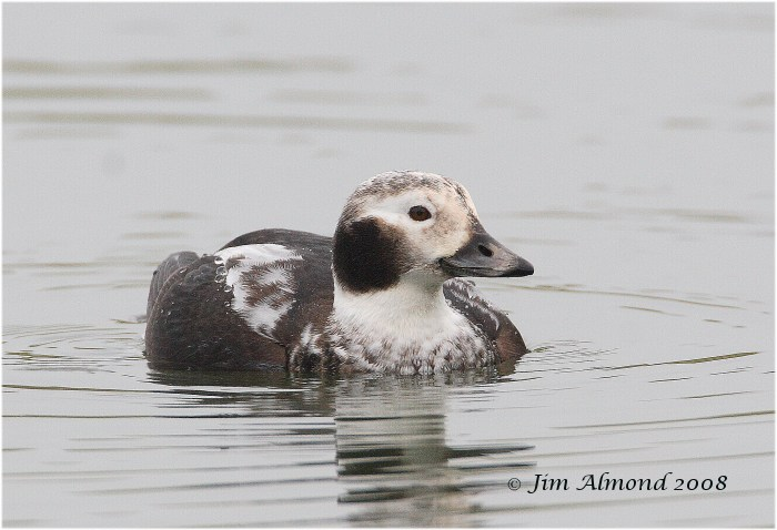 Long tailed Duck Williamsthorpe 1 1 08 IMG_5606