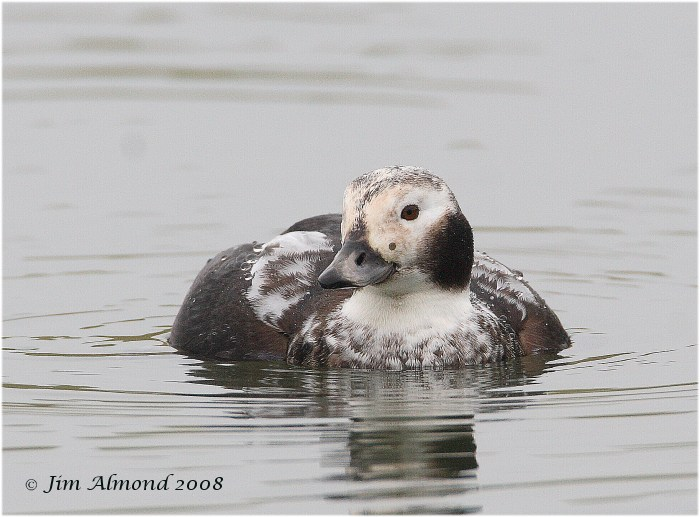 Long tailed Duck Williamsthorpe 1 1 08 IMG_5607