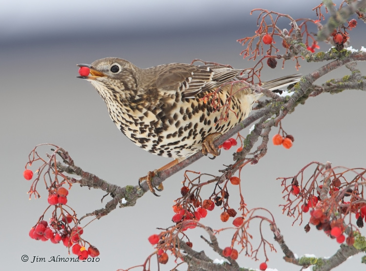 Mistle Thrush with Berry Meole Brace 19 12 10 IMG_8543