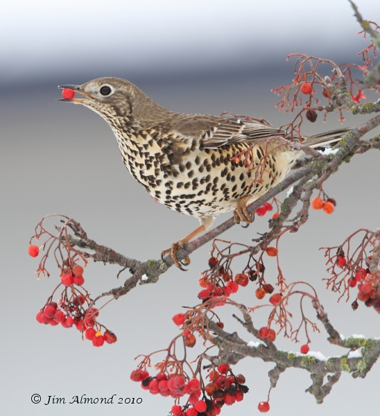 Mistle Thrush with Berry Meole Brace 19 12 10 IMG_8549