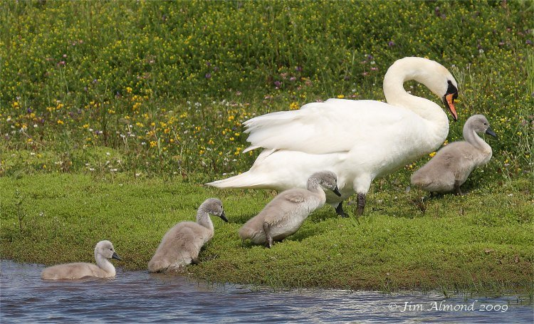 Mute Swan with cygnets VP 2 7 09  IMG_9772