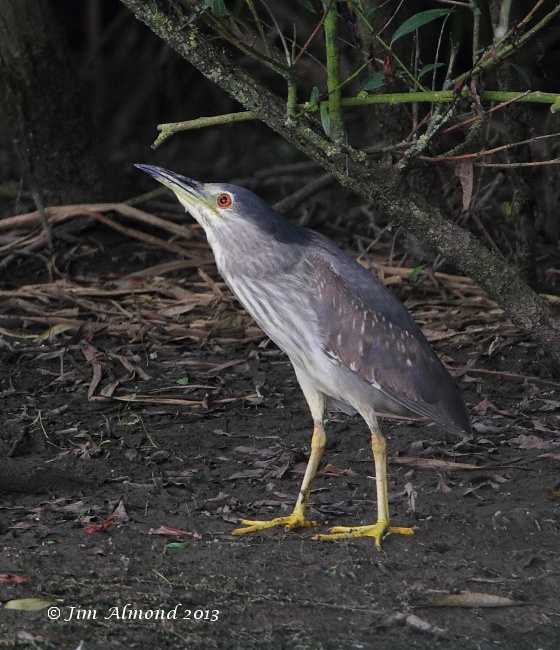 Night Heron  looking upwards Thornton res 2 8 13   IMG_1224