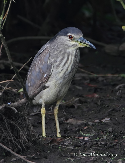Night Heron Thornton res  2 8 13 100 iso IMG_1171