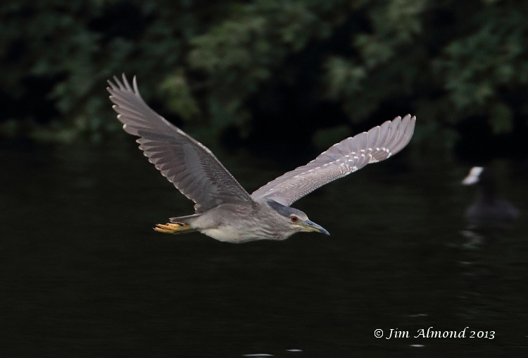 Night Heron flight Thornton res 2 8 13 IMG_1140