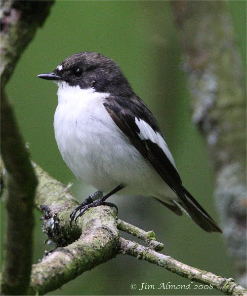 Pied Flycatcher Purlogue 23 5 08  IMG_7061