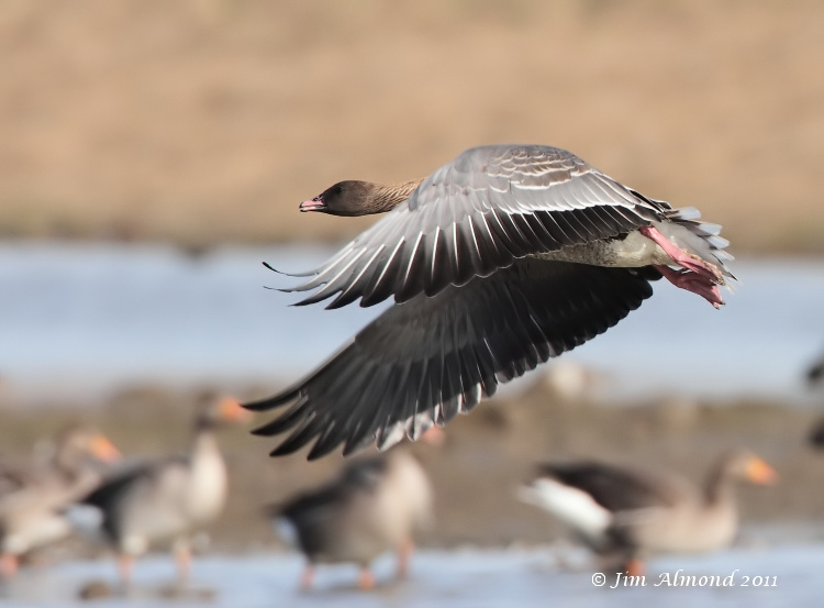 Pink Footed Goose take off Cley 27 9 11  IMG_1684