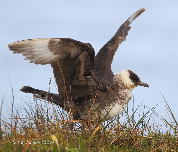 Pomarine Skua wingflap Beachley 6 12 09 Raw edit IMG_8442_filtered