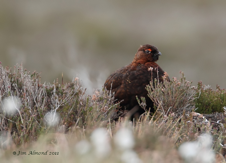 Red Grouse Lochindorb 14 5 11  IMG_7967