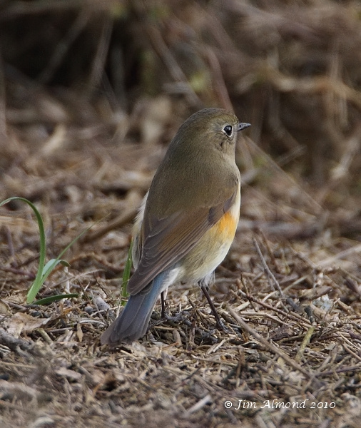 Red flanked Bluetail Burnham Overy 11 10 10  IMG_2536
