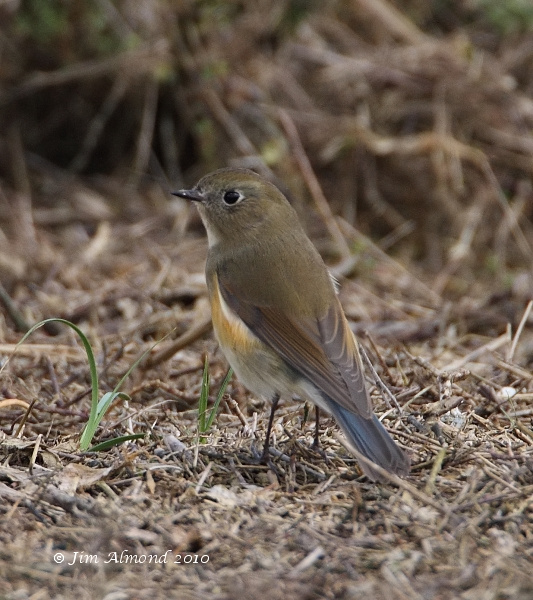 Red flanked Bluetail Burnham Overy 11 10 10  IMG_2547
