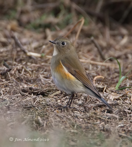Red flanked Bluetail Burnham Overy 11 10 10 IMG_2557