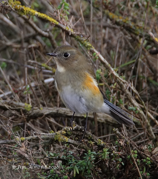 Red flanked Bluetail Burnham Overy 11 10 10 IMG_2530