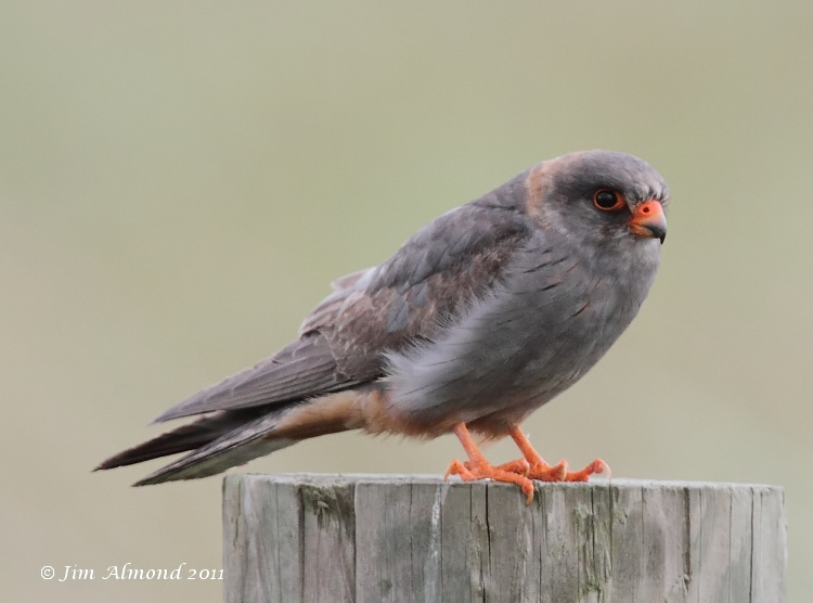 Red footed Falcon Horsey 18 6 11  IMG_0746