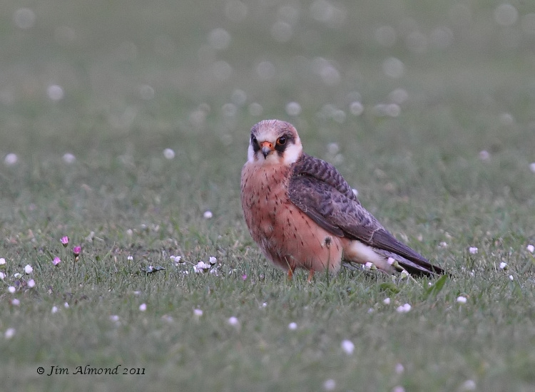 Red footed Falcon ground  Ledbury 8 6 11 IMG_1745