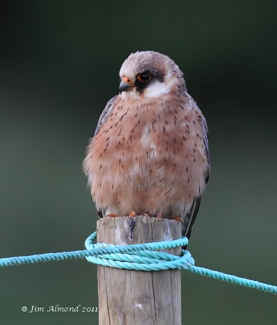 Red footed Falcon on post cu   Ledbury 8 6 11  IMG_1721