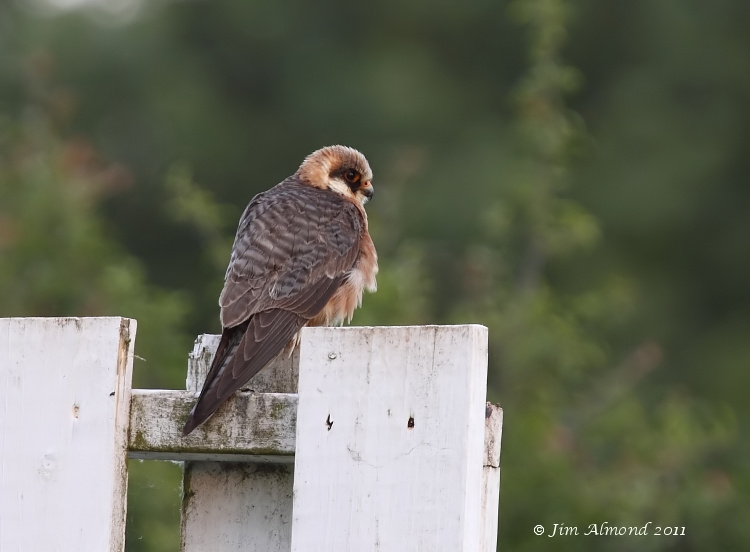 Red footed Falcon on sight screen  Ledbury 8 6 11 IMG_1677