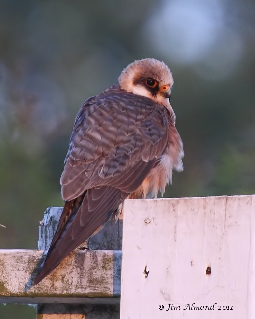 Red footed Falcon on sight screen in sunlight Ledbury 8 6 11 MG_1680