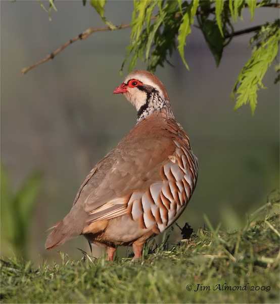 Red legged Partridge Upton Magna 21 5 09 IMG_4336