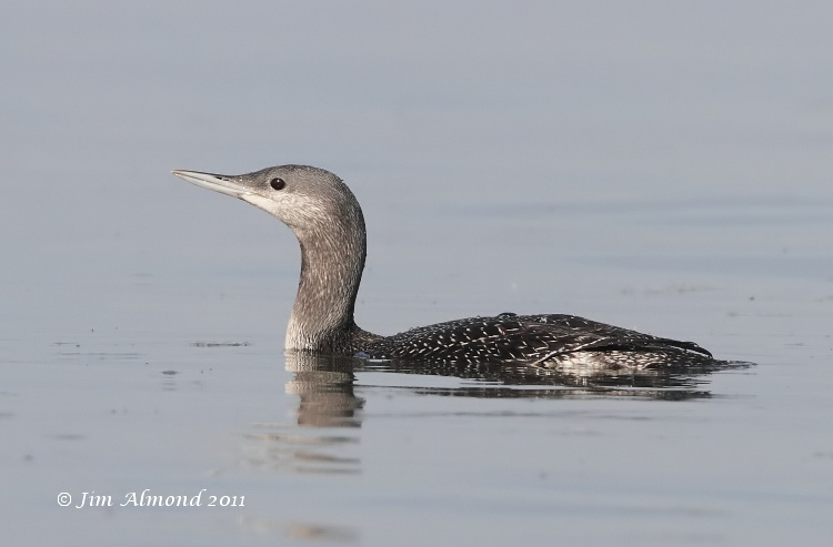 Red throated Diver juvenile Titchwell 1 10 11 IMG_6531
