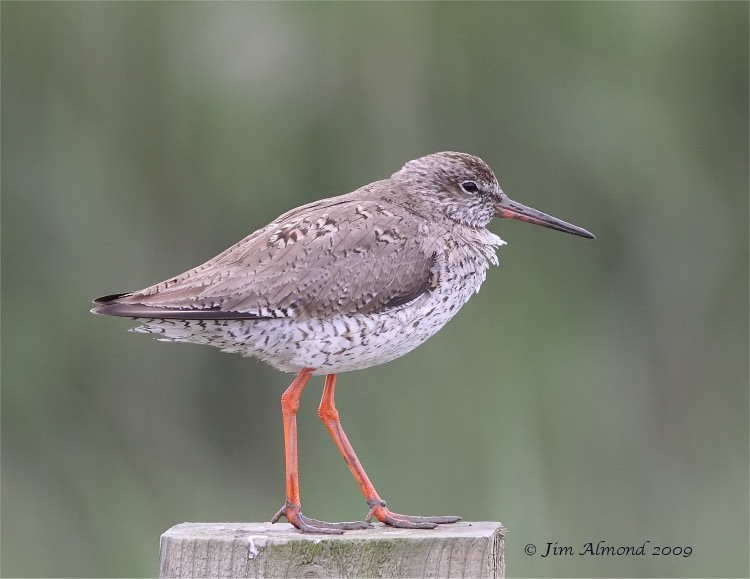 Redshank Cley 20 6 09  IMG_7502