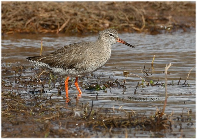 Redshank VP 18 3 07 IMG_1109