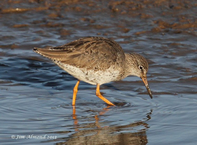 Redshank in shallow water Titchwell 2 3 13  IMG_5216