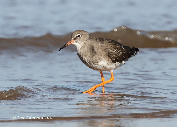 Redshank in shorebreak  Titchwell 30 9 11 IMG_5788