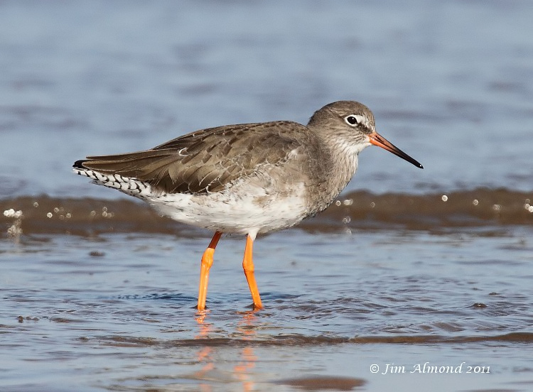 Redshank in shorebreak Titchwell 30 9 11 IMG_5798