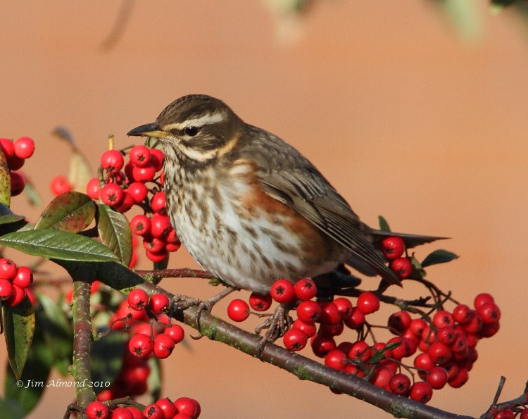 Redwing portrait  Priorslee 4 1 09 IMG_2659