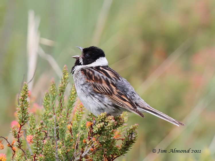 Reed Bunting  singing maleTitchwell 19 6 11 IMG_0980