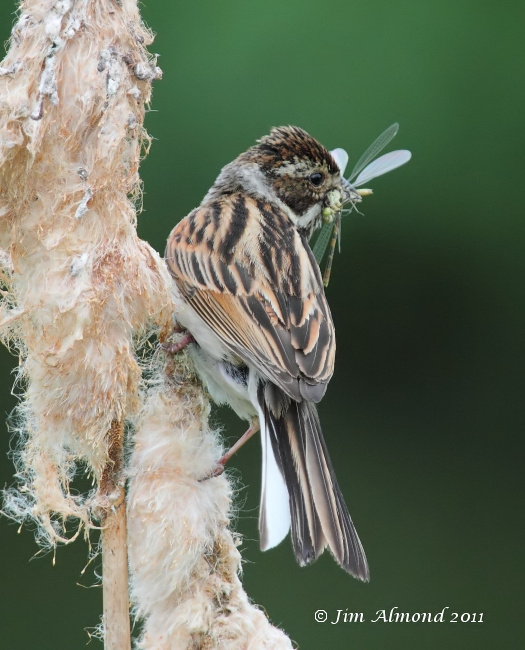 Reed Bunting with food Large Red Damselfly  Norfolk 19 6 11 IMG_1828