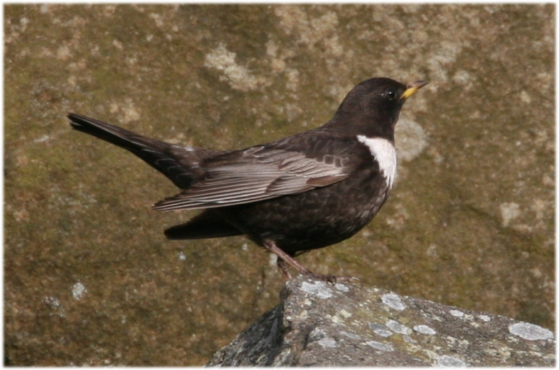 Ring Ouzel Titterstone Clee  6 4 07 img 2372