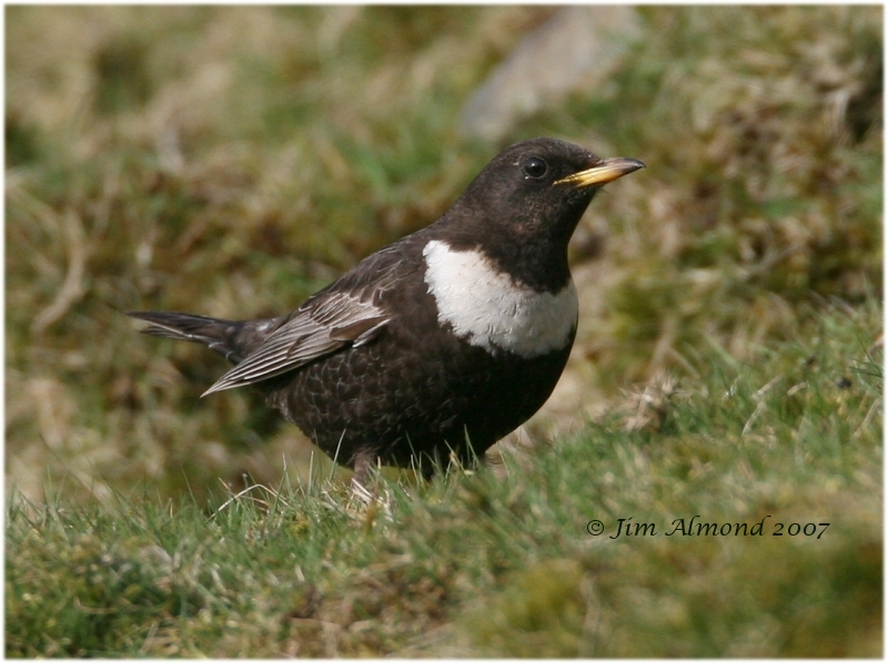 Ring Ouzel Titterstone Clee 6 4 07 img 2446