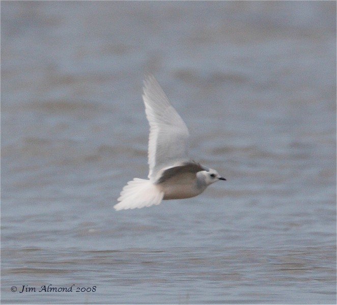 Ross's Gull flight Lytham 5 5 08  IMG_2309