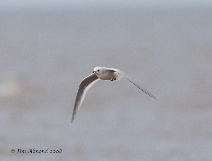 Ross's Gull flight Lytham 5 5 08  IMG_2311