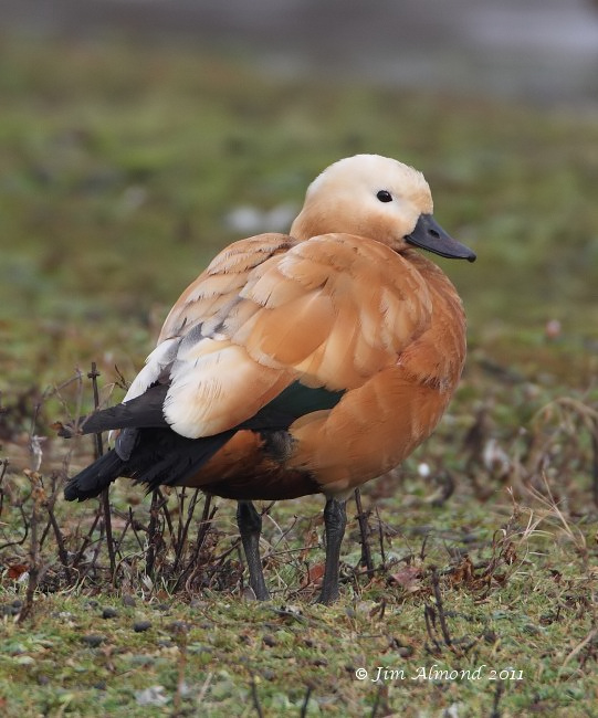 Ruddy Shelduck VP 21 1 11 Raw edit IMG_4115