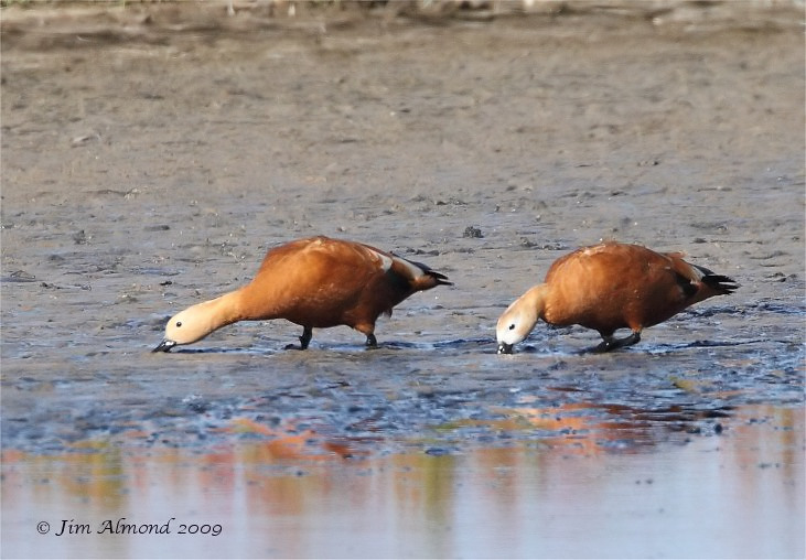 Ruddy Shelduck pair Newport Wetlands 5 7 09  IMG_8552