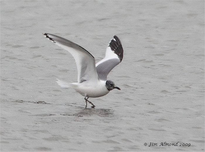 Sabines Gull Upton Warren 31 8 09  IMG_2630_filtered
