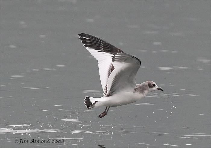 Sabines Gull Westport Lake 31 8 08 IMG 0021 filteredSabines Gull