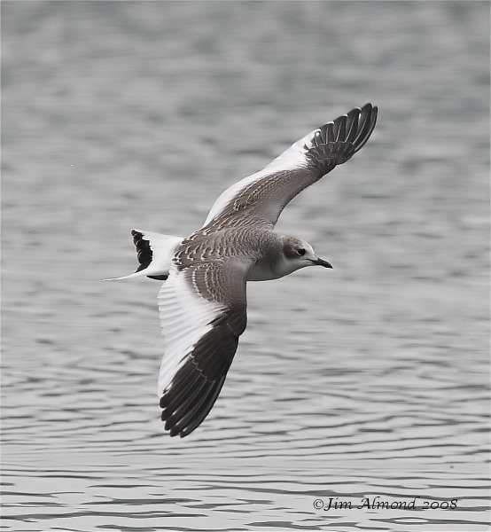Sabines Gull Westport Lake 31 8 08 IMG 0041Sabines Gull