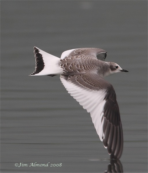 Sabines Gull Westport Lake 31 8 08  IMG_9978