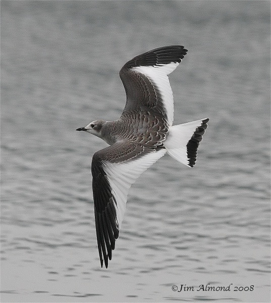 Sabines Gull Westport Lake 31 8 08  IMG_9979