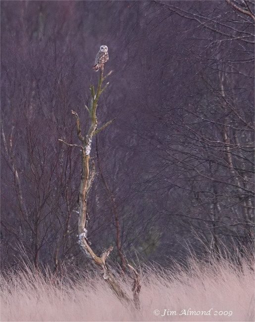Short eared Owl Whixall Moss 15 3 09 IMG_3185