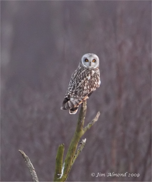 Short eared Owl Whixall Moss 15 3 09 IMG_3190
