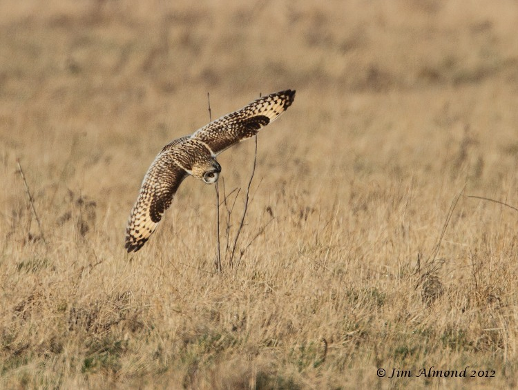 Short eared Owl diving Northants 14 1 12 IMG_6754