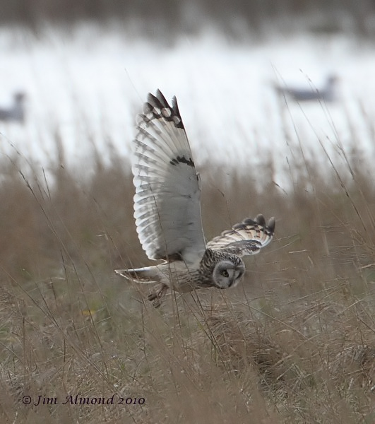 Short eared Owl flight about to pounce Parkgate 31 1 10  IMG_4269