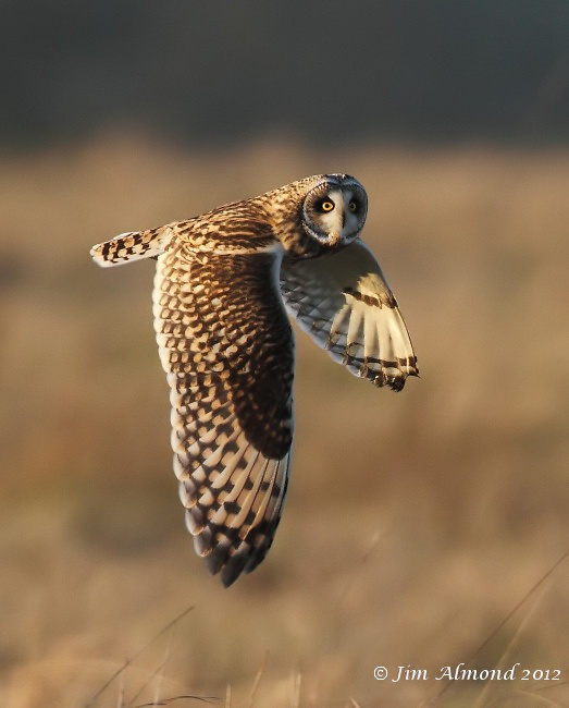 Short eared Owl flight head turned to right Northants 15 1 12 IMG_7437
